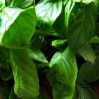 Basil Pesto - Allergy Friendly