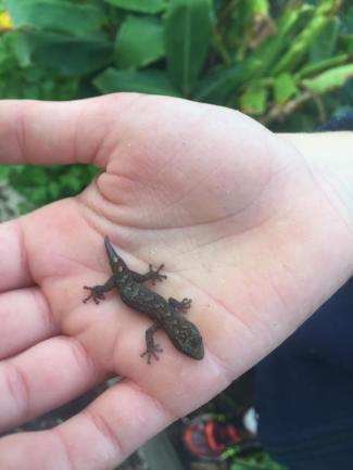 little lizard found in the garden