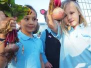harvesting beetroots