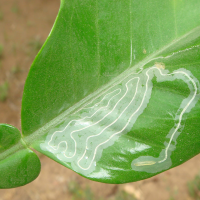 Organic remedy for Citrus leafminer