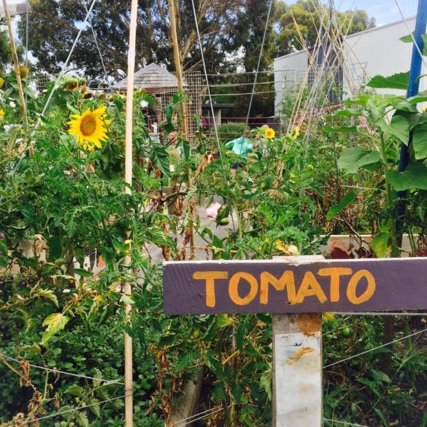 growing green thumbs - tomato