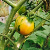 Growing heirloom tomatoes with kids