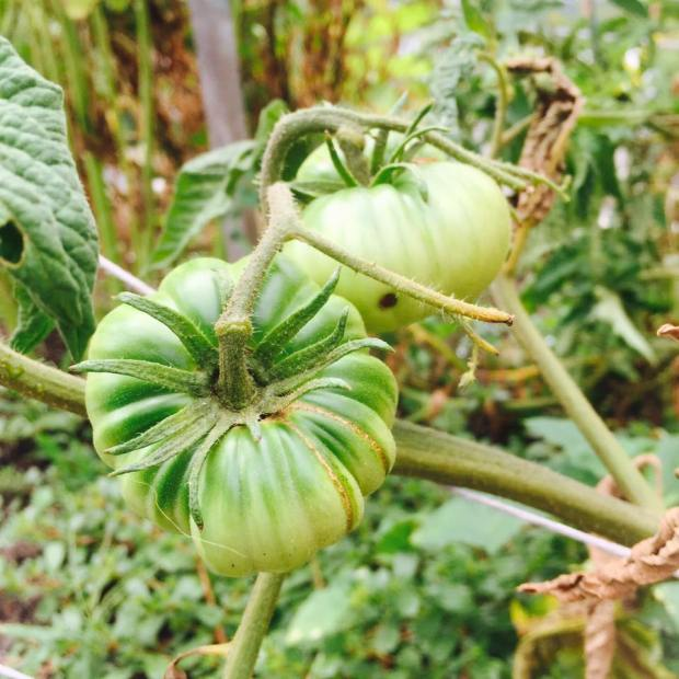 Growing green Thumbs - tomatoes