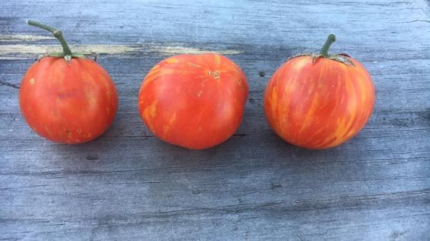 Growing green Thumbs - tomatoes