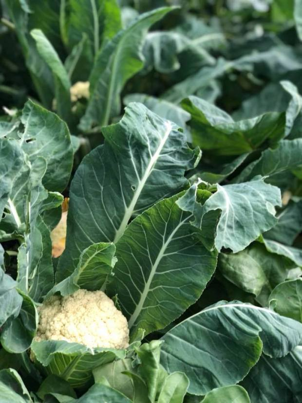 Growing Green Thumbs - cauliflower